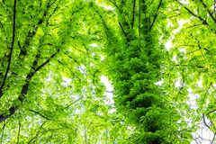 Overgrown chestnut tree trunk in city park or forest. Green foliage nature background. Natural shelter and roof. Outdoor wood leaf summer plant environment royalty free stock image