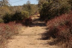 Overgrown country road bordered by native plant buckwheat, California drought conditions. Dirt path royalty free stock photos