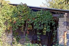 Overgrown with green vegetation old garden shed. Empty ruins of an old house overgrown with green vegetation with branches and leaves stock images