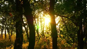 Overgrown, impassable forest at sunset. Sun rays pass through the branches of trees stock video