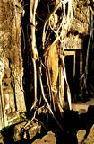 Overgrown Khmer ruin- Angkor Wat, Cambodia. Royalty Free Stock Photos