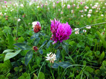 Overgrown meadow young  clover Royalty Free Stock Images