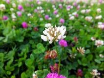 Overgrown meadow young  clover Stock Photos