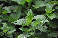 Overgrown nettles Urtica dioica. In natural growths grows nettles Urtica dioica royalty free stock photo