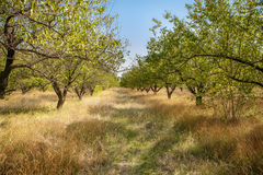 Old apricot garden Royalty Free Stock Photos