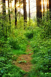 Overgrown path in the woods royalty free stock image