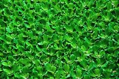 Overgrown Pistia Stratiotes Royalty Free Stock Photos