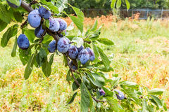 Overgrown plum tree Royalty Free Stock Images