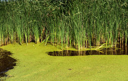 Overgrown pond. Stock Photos