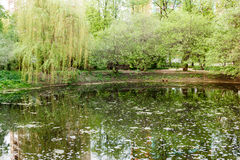 Overgrown pond and weeping willows in park Royalty Free Stock Photo