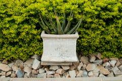 Overgrown pot plant Stock Image