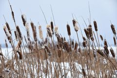 Overgrown reeds in winter on the lake stock photos