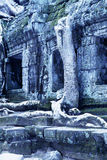 Overgrown ruins- Cambodia Royalty Free Stock Image