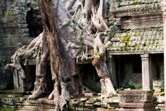 Overgrown Ruins- Cambodia Stock Photo