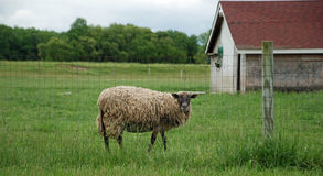 Overgrown Sheep Royalty Free Stock Photography