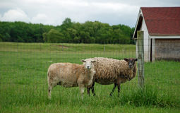 Overgrown Sheep. Two overgrown ewes with long wool on a farm setting with a barn in the background Stock Photos