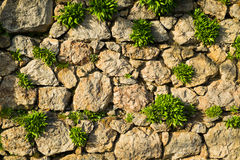 Overgrown stone wall. The grass grow through cracks in a stone walln Royalty Free Stock Photography
