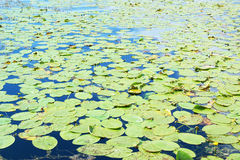Overgrown summer lake with water lily Royalty Free Stock Images
