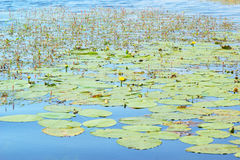 Overgrown summer lake with water lily Stock Photography