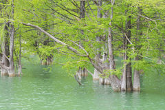 Overgrown swamp cypress on the lake Stock Image