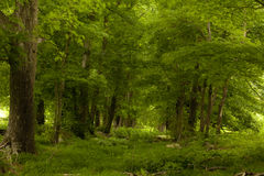An overgrown trail in the woods Stock Photography