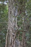 Overgrown treetrunk Royalty Free Stock Photography