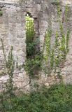Overgrown wall of the Hochburg Emmendingen Stock Image