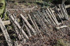 Overgrown Wooden Fence. Old derelict wooden fence overgrown with ivy Stock Image