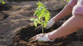 Overhandigt de Landbouwers het Schoffelen van de Grond rond de Tomatenzaailing stock video