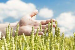 Overhandigt dichtbij oren op graangewassengebied Stock Afbeelding