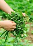 Overhandigt het plukken kruid bij tuin royalty-vrije stock afbeeldingen