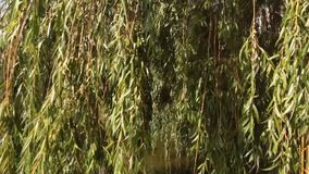 Overhanging branches of willows over the water stock video