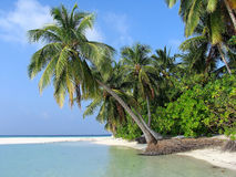 Overhanging Palm on a tropical island Royalty Free Stock Images