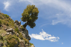 Overhanging tree on rock Royalty Free Stock Image