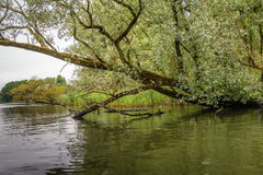 Overhanging willow trees in a wild freshwater tidal area Royalty Free Stock Photos