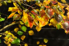 Overhanging Yellow, Green, Red, leaves on a Dark background, highlighted Naturally by the Sun. royalty free stock image