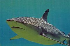 Overhead. Shark swimming overhead Royalty Free Stock Photos
