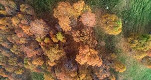 Overhead aerial top view over colorful autumn birch forest in foggy weather. Fall orange, green, yellow red tree woods. Mountain fog establisher.4k drone stock video footage