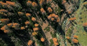 Overhead aerial top view over orange and red larch tree forest woods and creek in sunny autumn.Alps outdoor colorful. Nature scape mountains wild fall stock video