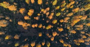 Overhead aerial top view over orange and red larch tree forest woods in sunny autumn.Europe Alps outdoor colorful nature. Scape mountains wild fall establisher stock video