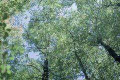 Overhead birch tree canopy of branches and lime green leaves. Through towering tree trunks and spindly branches faded colors retro effect image stock images