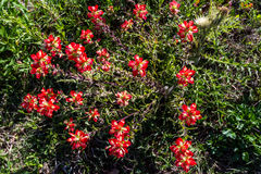 Overhead Closeup of a Cluster of Bright Orange Indian Paintbrush Wildflowers Stock Image