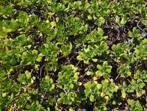 Overhead of Naupaka Kahakai Royalty Free Stock Image
