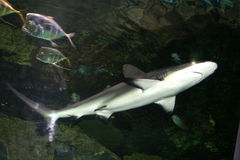 Overhead Shark. A gray or silver shark swimming overhead in a fishtank Stock Photos