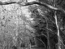 Overhead Trees in Black and White looking creepy Stock Image