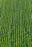 Overhead view from above on a field of young corn. Equally rows of plants form a symmetrical pattern Stock Photos