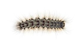 Overhead view of the Caterpillar of a Lymantria dispar stock photography