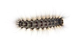 Overhead view of the Caterpillar of a Lymantria dispar royalty free stock images