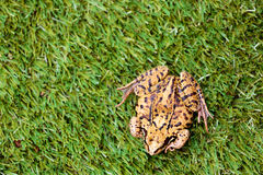 Overhead View of Common Frog on Grass Stock Image