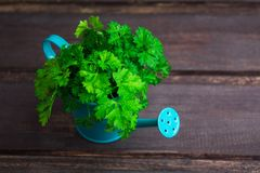 Overhead view of fresh green parsley in blue pot with copy space. On wooden background Stock Photo